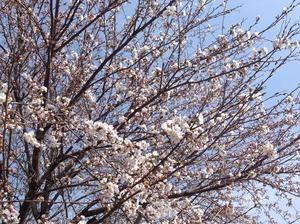 美原公園の桜