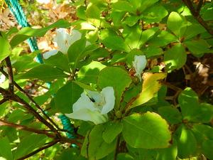 シロヤシオの狂い咲き