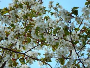 山桜その1