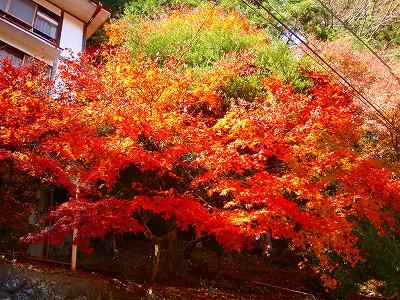 明賀屋本館玄関前の紅葉その2