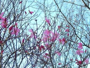 一番先に咲くヤシオツツジ