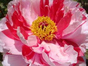 庭の牡丹の花絞り
