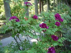 紫色は早咲き2012.5.19