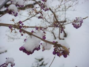 雪をかぶった紫式部
