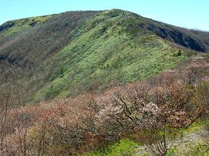 那須連山日の出平周辺のミネザクラ