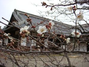 弘文館の白梅