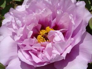 庭の牡丹の花紫