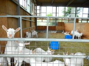 山羊がいっぱい