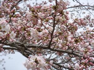 ふっくらとやさしい色合いの桜