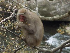 夢中で木の芽を食べるニホンザル