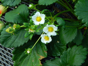 スカイベリーの花