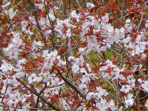 山桜その7