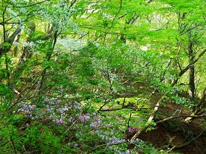 県民の森のシロヤシオ