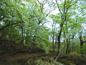 ミツモチ山のシロヤシオ(ゴヨウツツジ)