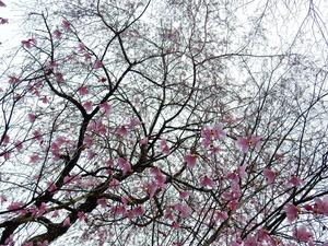 彩つむぎの桜