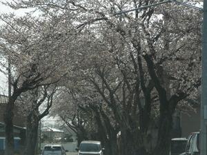 乃木神社参道の桜