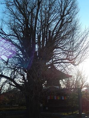 樹齢500年の大銀杏