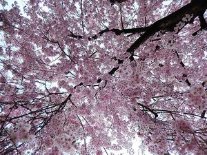 宇都宮釜川のしだれ桜
