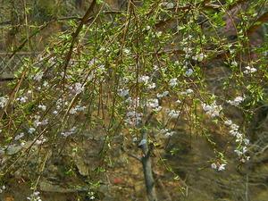咲かずの桜