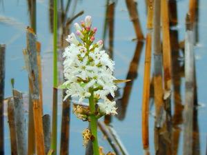 ヨシ沼のミツガシワ