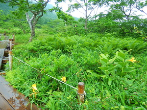 沼原湿原のニッコウキスゲ