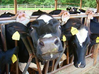ももい牧場の牛