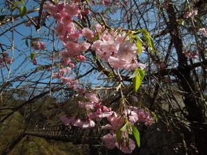 桜と七ツ岩つり橋