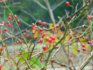 大沼の赤い実ノイバラ