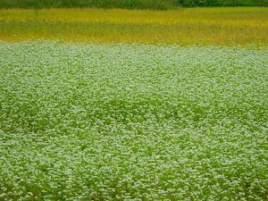 ソバの花と稲穂