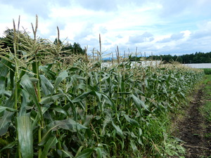 辻岡農園の白いトウモロコシ