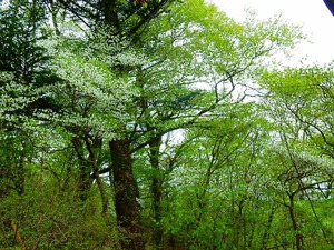 ミツモチ山のシロヤシオ