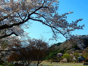 温泉街の桜