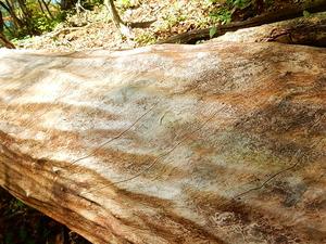 巨木の森(栗の木)