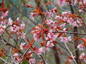 山桜その5