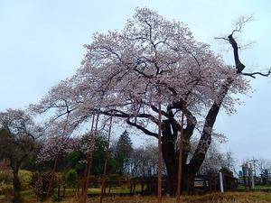 寺子のエドヒガン桜