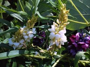 白いクズの花
