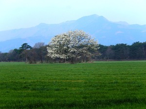 千本松牧場のコブシ