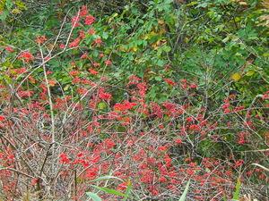 大沼の赤い実カンボク