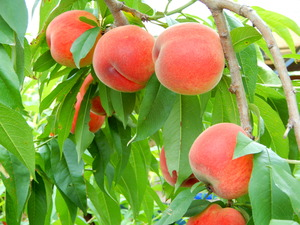 おやまだ桃農園