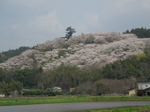 那須芦野町御殿山の桜