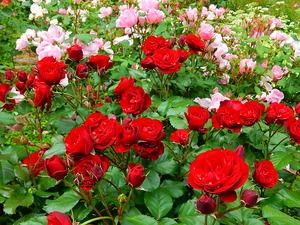 アンジェラガーデンのバラ