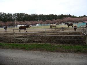 牧場ならではの桜並木