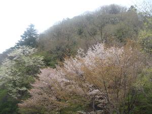 旧道の山桜