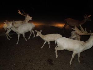 ファロー鹿の群れ