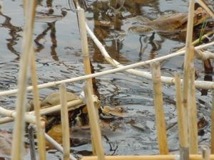 アズマヒキガエルの交尾
