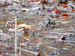 大沼のアズマヒキガエルの蛙合戦