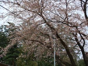 ほころび始めた千本松牧場の桜