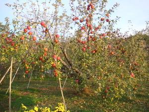 りんご収穫