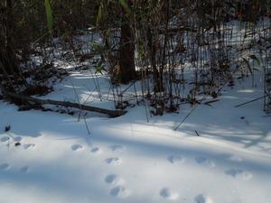 動物の足跡(ウサギ)