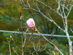アカヤシオの狂い咲き